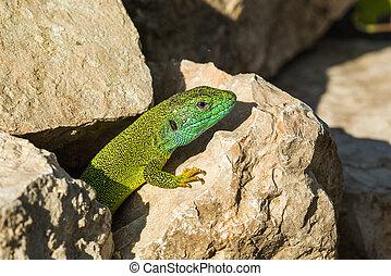Green lizard - Lacerta viridis