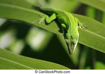 Green Lizard - Lizard looking down at an insect on a...