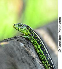 Green lizard macro shot