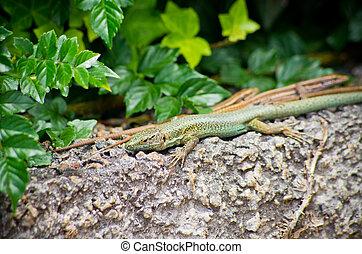Green lizard on Madeira island, Portugal - Green lizard on...