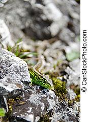 Green lizard on the rocks