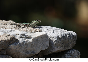 Green lizard sits on rocks and bask in the sun