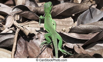 Green lizard walking in super slow-motion