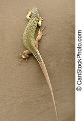 Green lizard walking on brown fabric