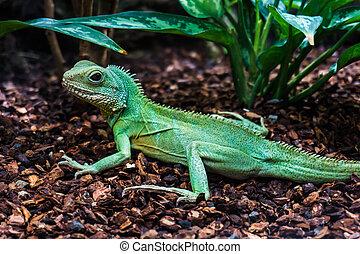 Green lizard. Water Dragon. Green Water Dragon.