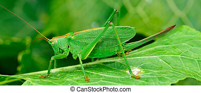 green locust is a large grasshopper - large green...