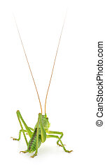 Green locust isolated. - Green locust isolated on a white...