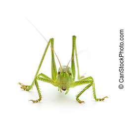 Green locust isolated on a white background