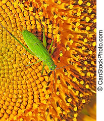locust - Green locust on the sunflower
