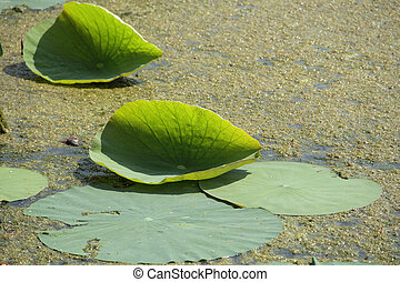 green Lotus leaf in a summer pond