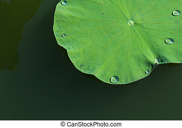 Green lotus leaf in the lake. - With water drop