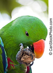 Green macaw close up - Green Macaw from indonesia is eating...