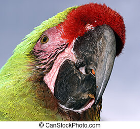 green Macaw parrot head