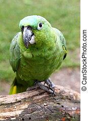 Green macaw - green macaw
