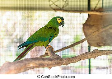 Green macaw with black beak on perch