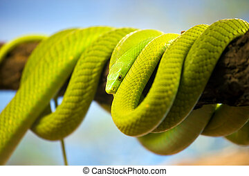 Green Mamba Coiled Up on a Branch - Green Mamba...