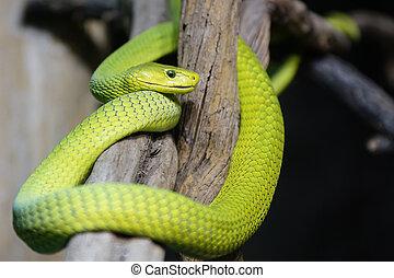 Green Mamba, Dendroaspis viridis - Green Mamba (Dendroaspis...