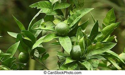 Green mandarins on a tree. Unripe tangerine. Montenegrin...