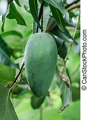 Green Mango on the tree in the garden