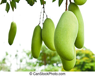 Green Mango with leaves on tree