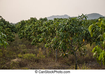 Green mangoes on the tree. Mango trees growing in a field in Asia. Mangoes fruit plantation. Delicious fruits are rich in vitamins.