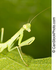 Green mantis in the nature. close