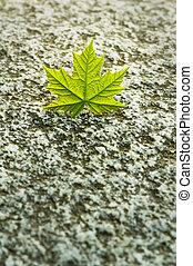 Green maple leaf on granite rock