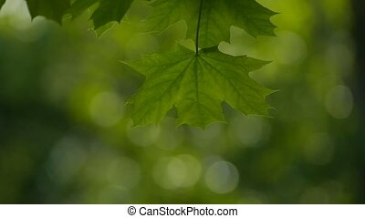 green maple leaf slow motion video