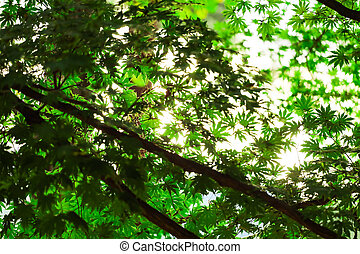 Green maple leaves for natural background