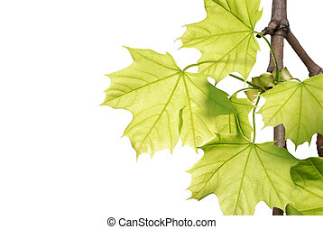 green maple leaves on a branch