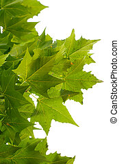 green maple leaves on a white background