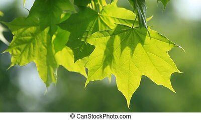 Green maple leaves on the tree and sunlight