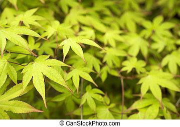 Green maple leaves(Acer palmatum var. amoenum) and leaf...