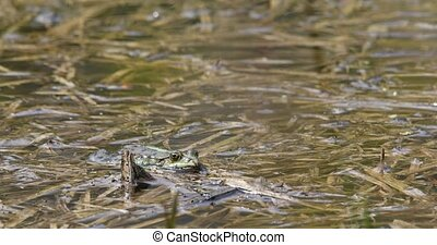 green marsh frog on pond, European wildlife - green marsh...