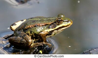 green marsh frog on pond, European wildlife