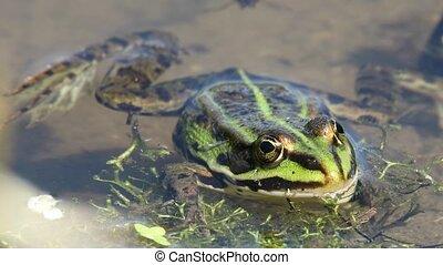 green marsh frog on pond, European wildlife - green marsh...