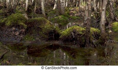 Green marsh moss among trees - Green marsh moss on stumps...