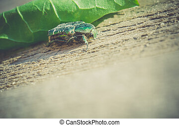 Green May Beetle - Bright green may beetle close up on a...