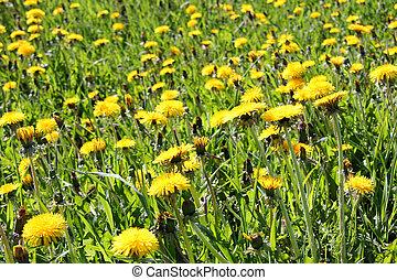 Green meadow of yellow Dandelion flowers (Taraxacum)