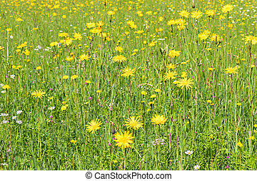 Green meadow with colorful alpine wild flowers during summer