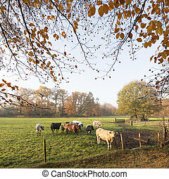 green meadow with meat cows in autumn landscape near dutch...
