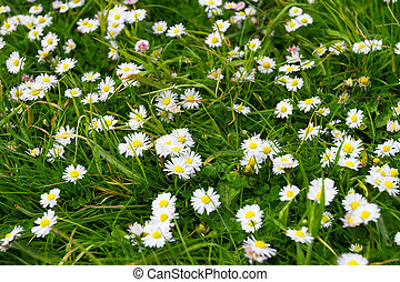 Green meadow with white daisy flowers