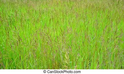 Green meadow with wild grass in summer
