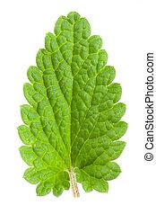 green melissa leaf or lemon balm isolated on white background