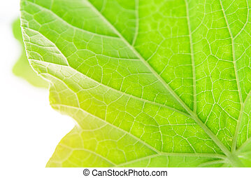 green melon leaf with sunlight