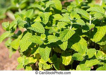 Green mint leaves growing in garden