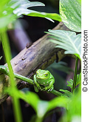 Green monkey tree frog