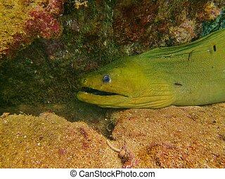 Green Moray eel on a ledge.