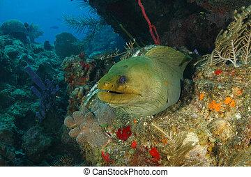 Green Moray on a Coral Reef - Roatan