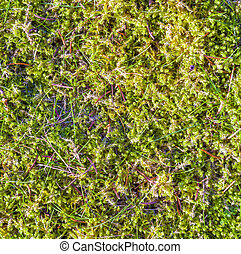 Green moss background partly frozen